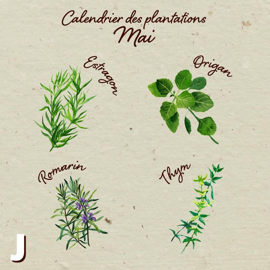 Culture Et Entretien De La Rhubarbe Épinglé sur calendrier du jardinier