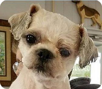 Springdale Ar Shih Tzu Mix Meet Timmy A Dog For Adoption