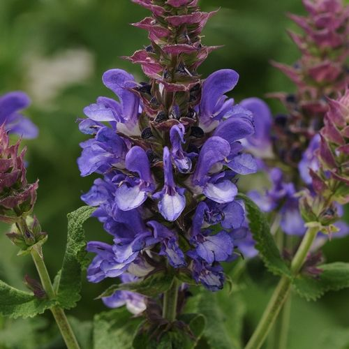 NGB New Varieties: Salvia Blue Marvel from Darwin Perennials has the largest flowers of all S. nemorosa, and it re-blooms reliably in your perennial garden.