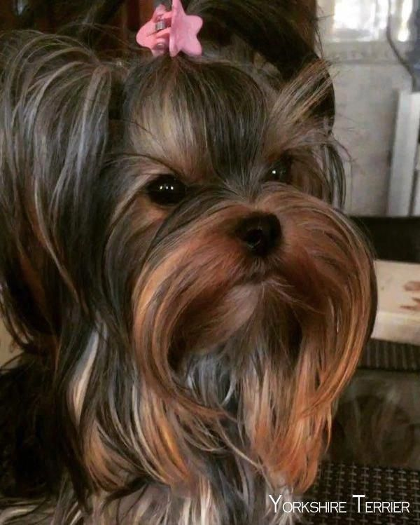 Discover The Sprightly Yorkshire Terrier Dogs Temperament