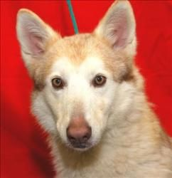 Gretel Is An Adoptable Siberian Husky Dog In Visalia Ca Siberian