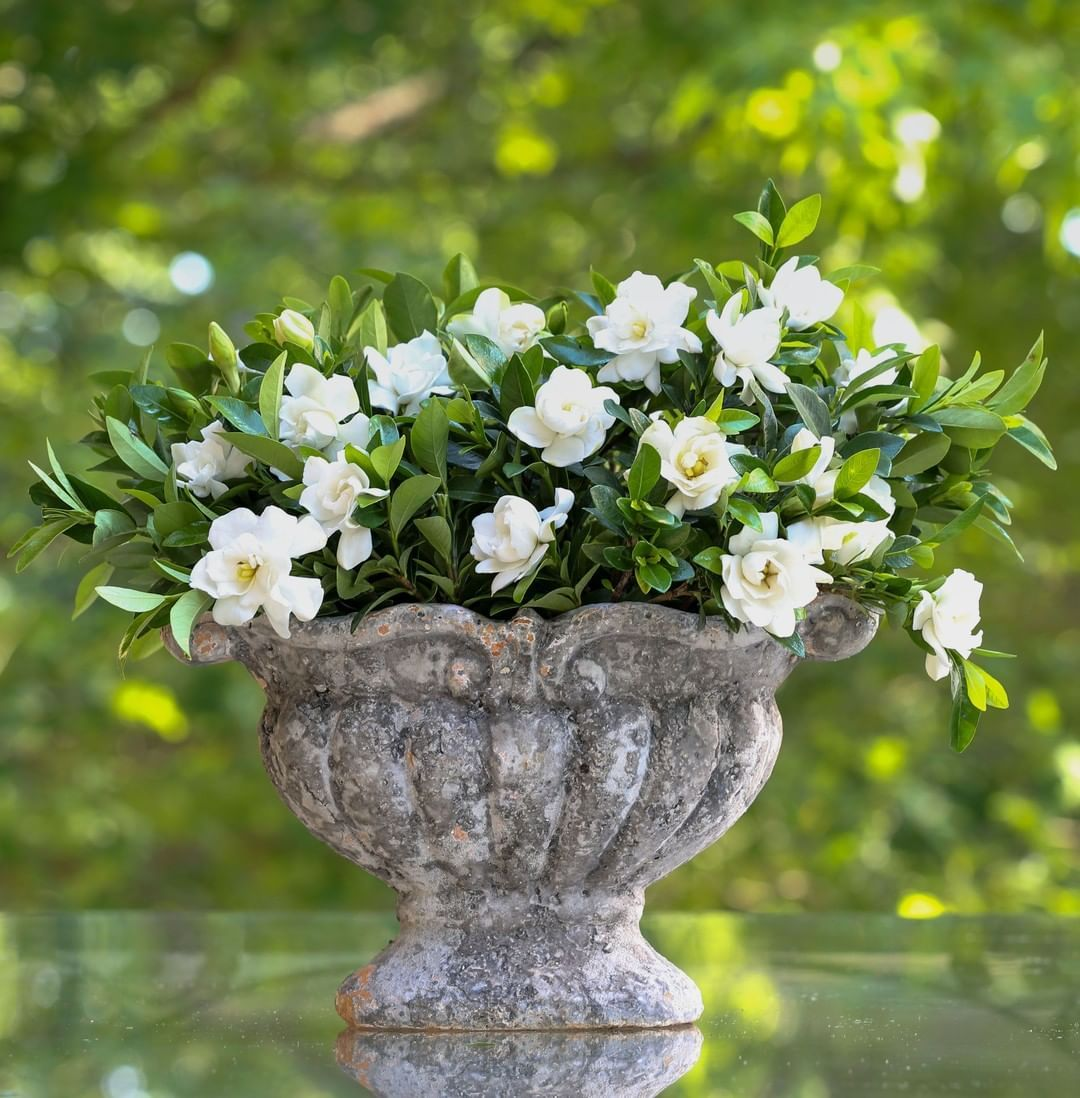 Slivingplants Posted To Instagram Our Gardenias Are Blooming Again A Charming Improvement On Southern Living Plants Plants Southern Living Plant Collection