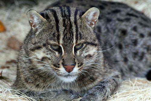 Fishing Cat | Flickr - Photo Sharing!