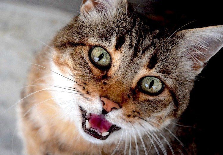 Why Your Old Cat Meows All The Time Cute Cat Breeds Cat Keeps