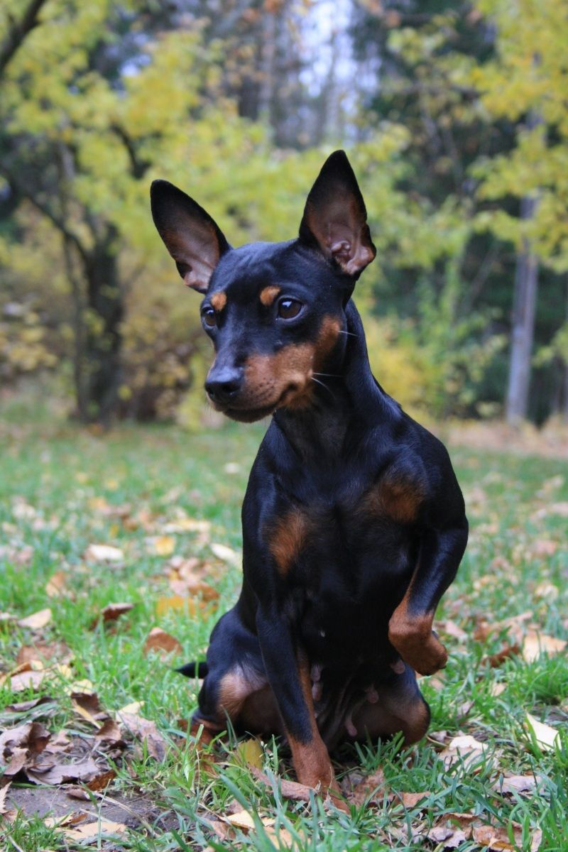 Tulppu Mini Pinscher Miniature Pinscher Baby Dogs