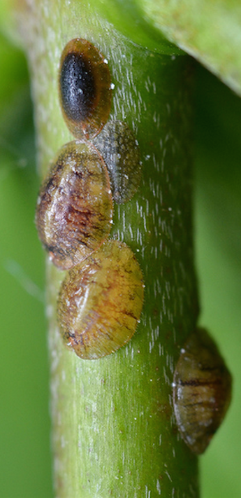 How To Get Rid Of Scale Insects On Citrus Trees