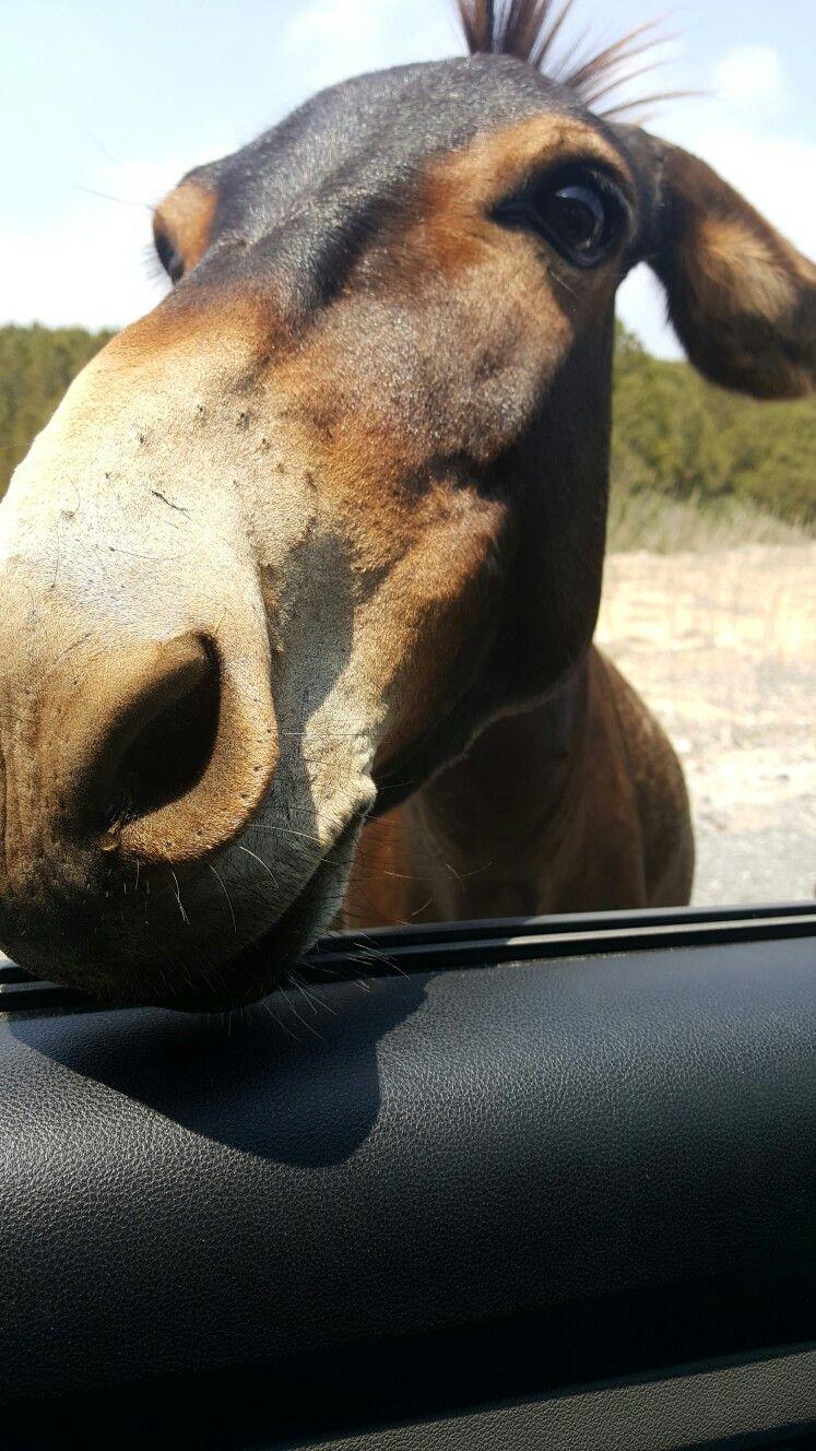Northern Cyprus wild donkey