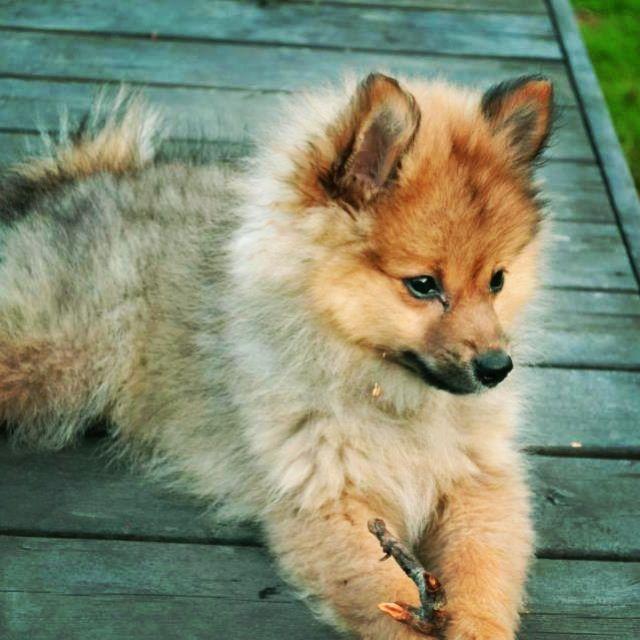 Cute Mittelspitz puppy!