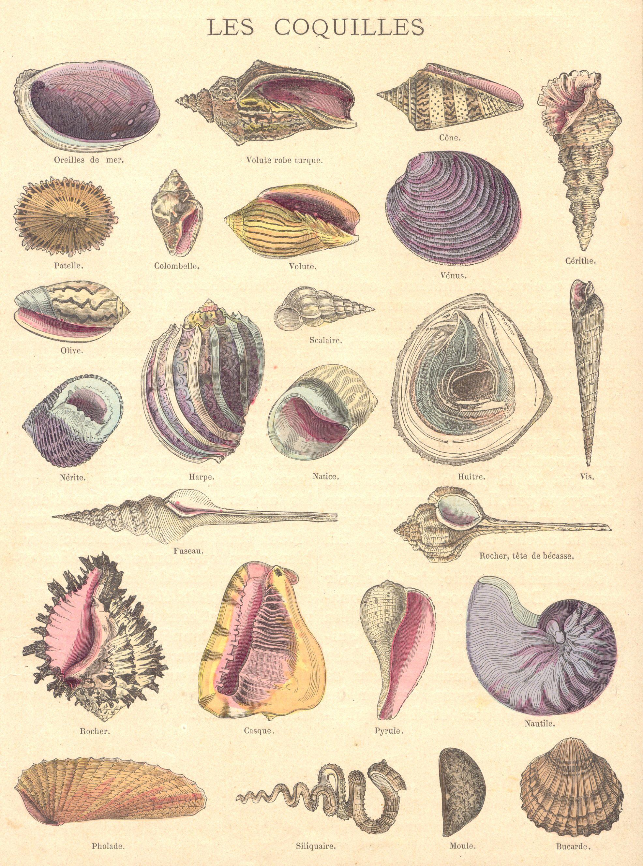 Coquillage Dessin Art De La Mer Coquillage