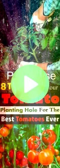 you want to grow the best tomatoes in taste and size And want to have a bumper harvest Then put these things in the hole before planting your tomato plantDo you want to g...