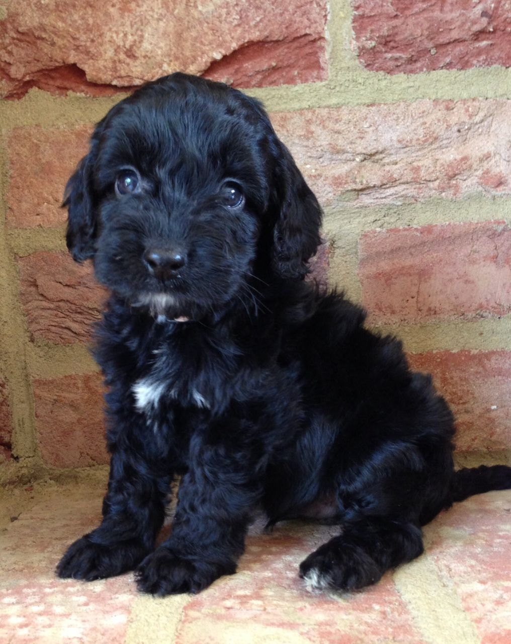 Pin by Rachael Edwards on Puppies | Cockapoo puppies, Black cockapoo