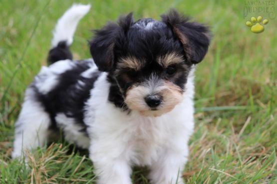 Terra York Chon Puppy For Sale In Millersburg Oh Lancaster