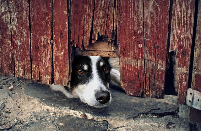 Interesting dog fact of the week: Border Collies don't usually wander off. But their high curiosity and intelligence can make them escape artists.