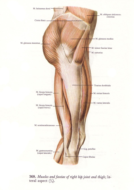 Illiotibial banddifferentiatimg hip girdle | Anatomy | Pinterest