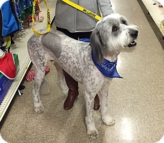 Great Pyrenees Old English Sheepdog Mix Dog For Adoption In Tulsa