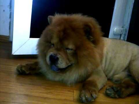 Chow Dog Lion Haircut Silly Animals Dogs Animals