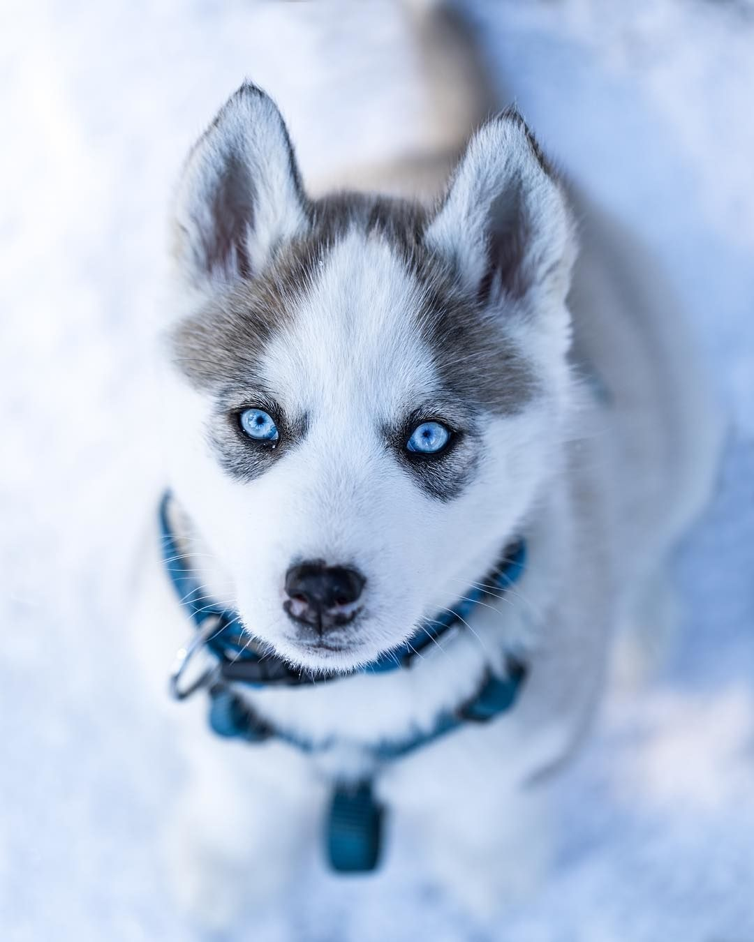 I Love Huskies Cute Husky Puppies Cute Dogs Cute Husky
