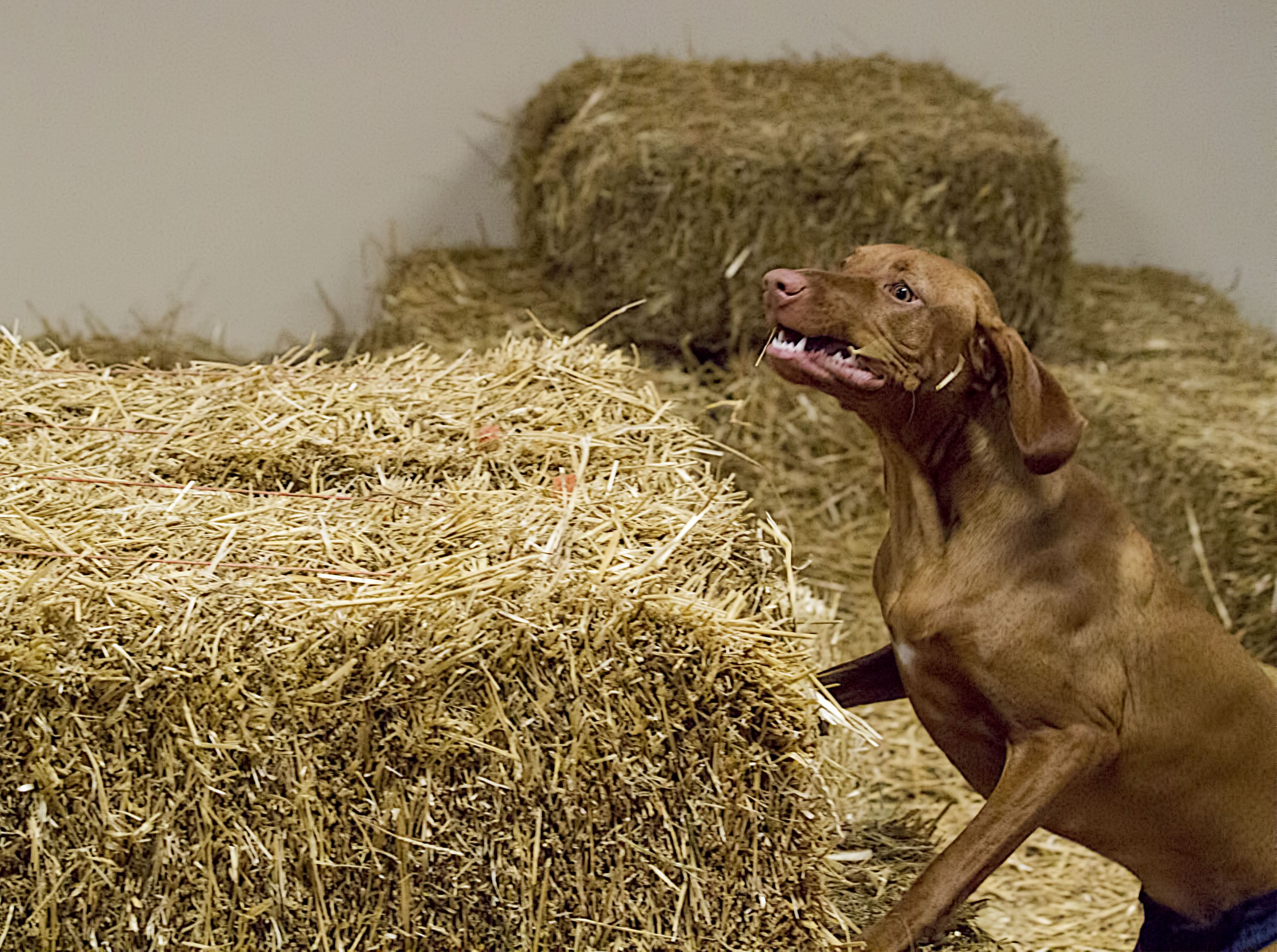 Barn Hunt Trial Sheboygan Dog Training Club 03 29 14