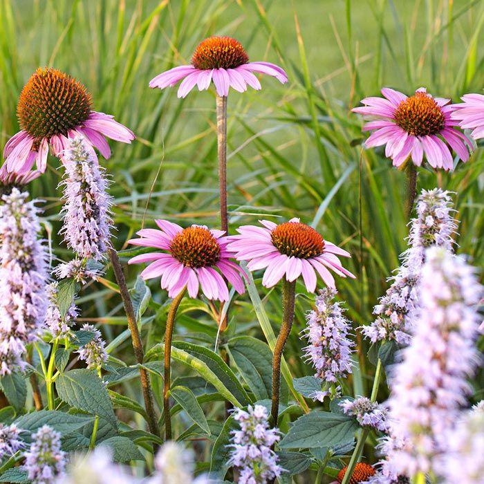 purple coneflower and hyssop Diy garden projects, Diy