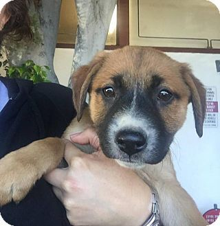 Eugene Or German Shepherd Dog Mix Meet Mabel A Puppy For