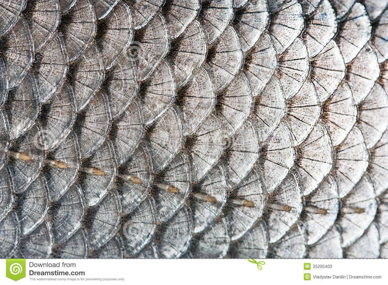 Photo About Texture Scales Of Fish Silver Background Image Of Creature Fresh Catch 25205403 Silver Background Animals Images Fish Stock