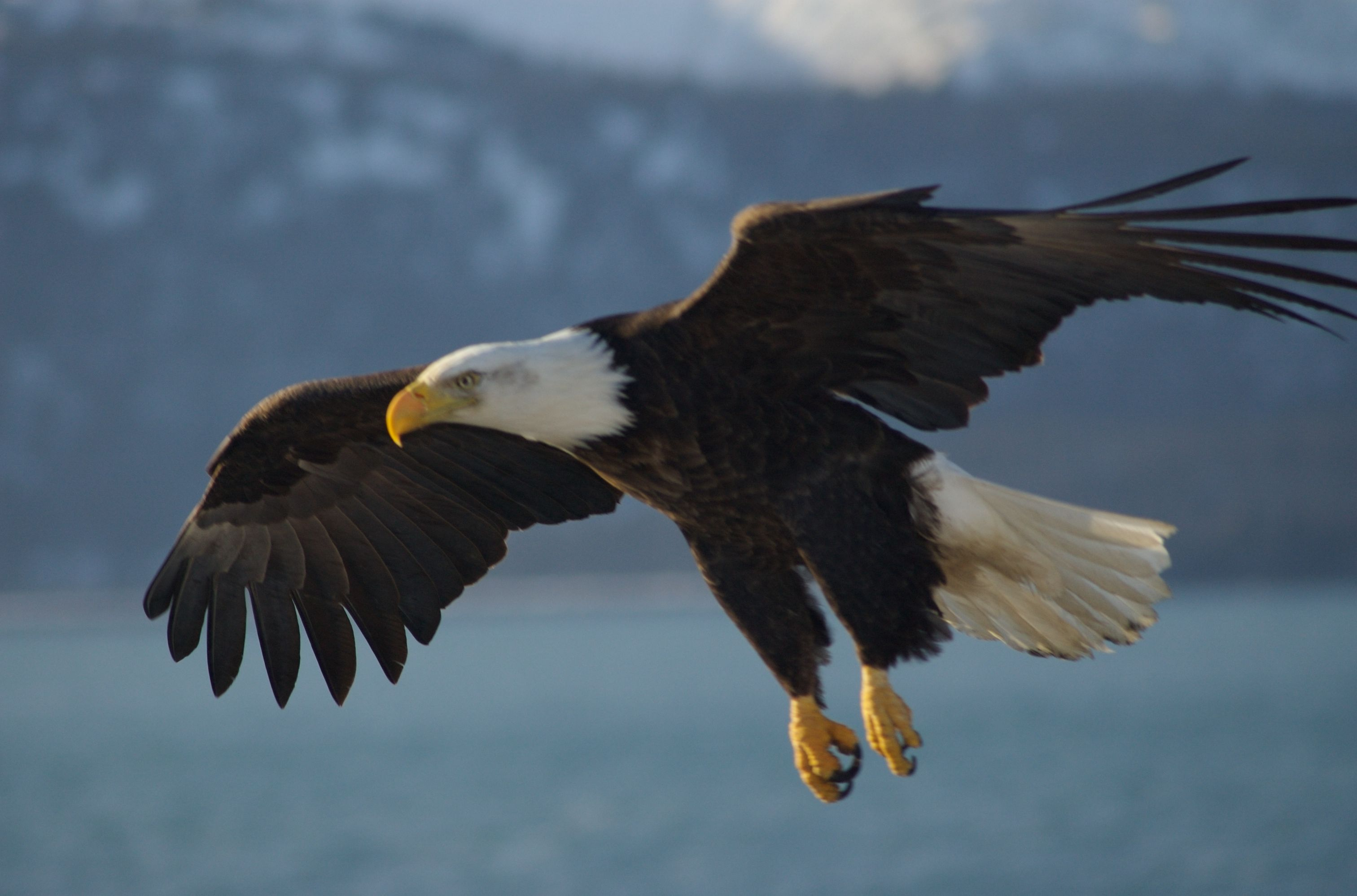 the different types of eagles and their habitat Their white heads also have a distinctive black eyestripe that goes down the side of their faces eagles and ospreys frequent similar habitats and sometimes battle for food.