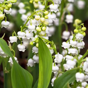 Lily Of The Valley White Garden Express Lily Of The Valley Flowers Garden Express Lily Of The Valley