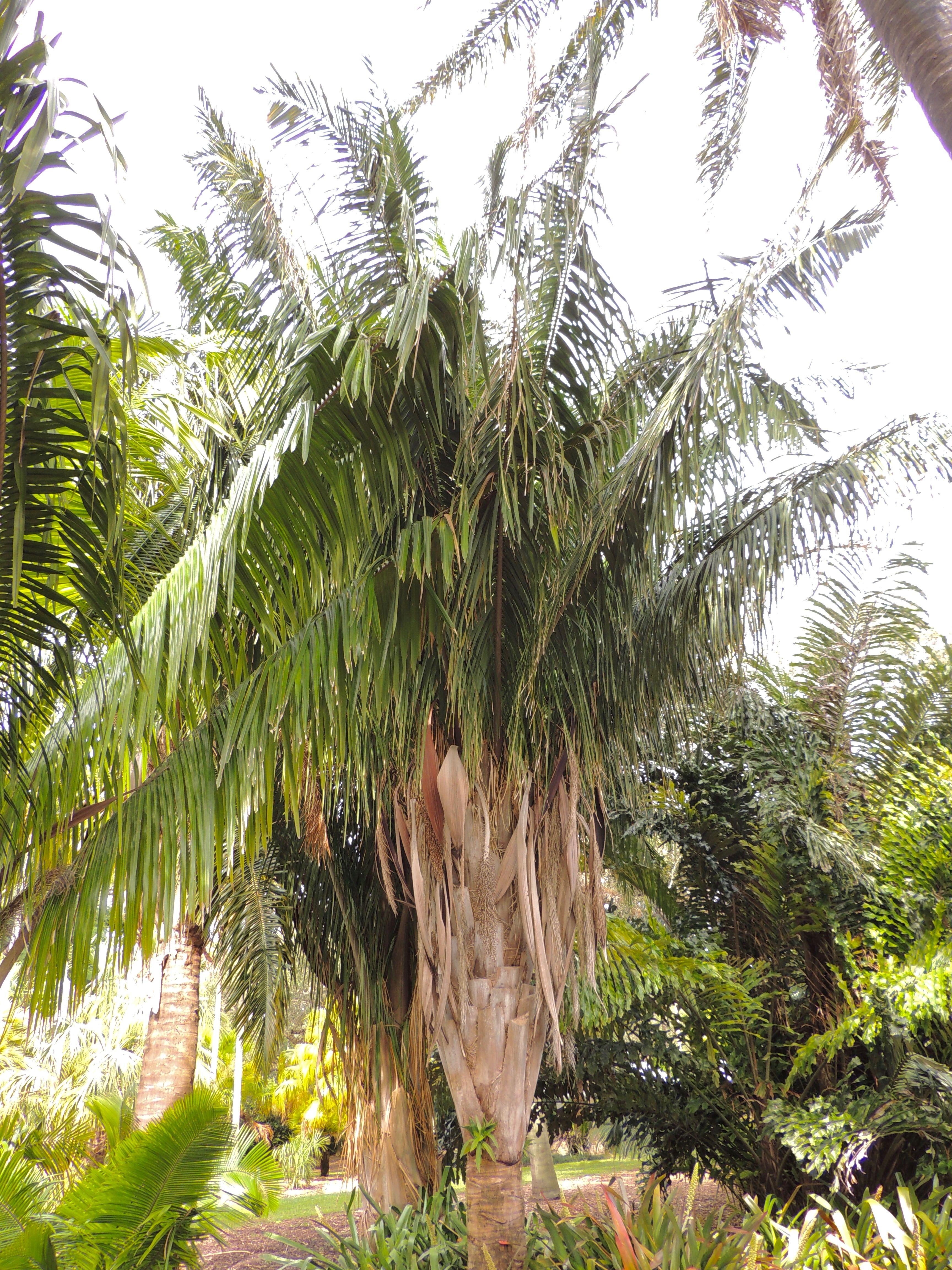 Attalea amygdalina Fairchild Tropical Gardens, Miami | Palm photos ...