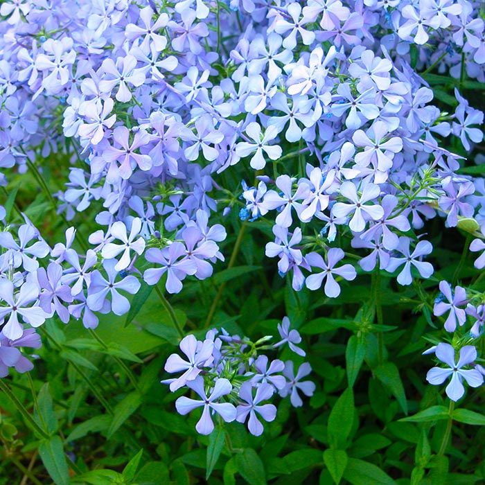 Blue Flowers Woodland Phlox Is A Perennial That Reseeds