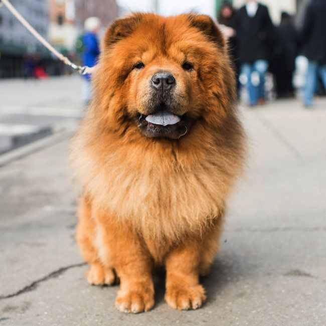 Bamboo Chow Chow L The Dogist By Elias Weiss Friedman L Book