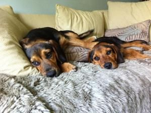 They Re Brothers Black And Tan Coonhound Beagle Mix
