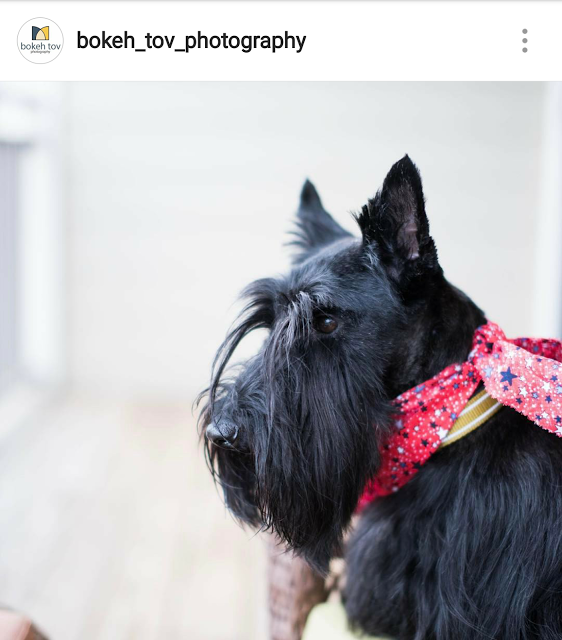 Scottish Terriers Of Instagram Scottish Terrier Rescue Dogs Mom Scottie Dog