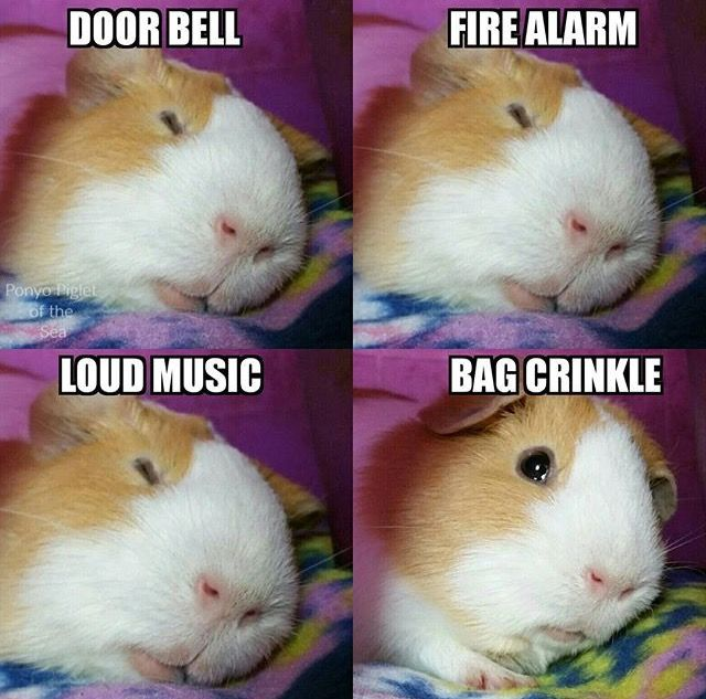 This is my guinea pig!