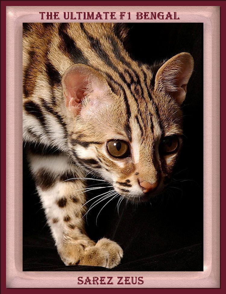 Yep Zeus is the ultimate F1 Bengal Cat with 90% Wild Blood