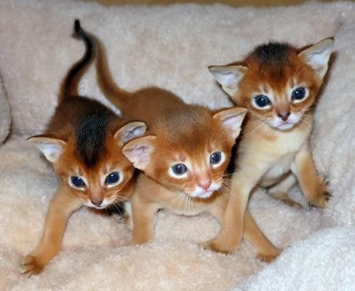 Abyssinian Cat Michigan