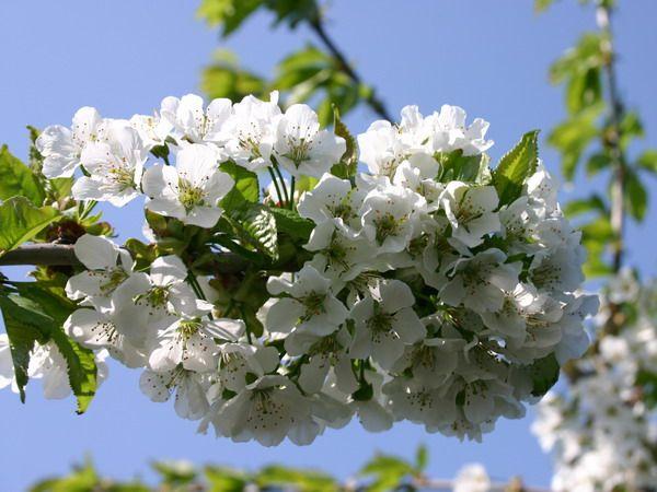 Cherry Tree Glyph