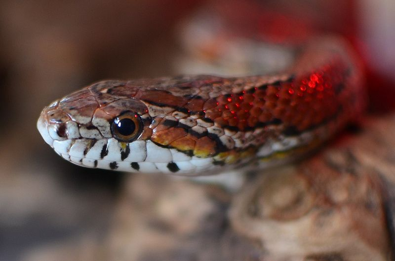 A Beginner's Guide to Caring for a Corn Snake