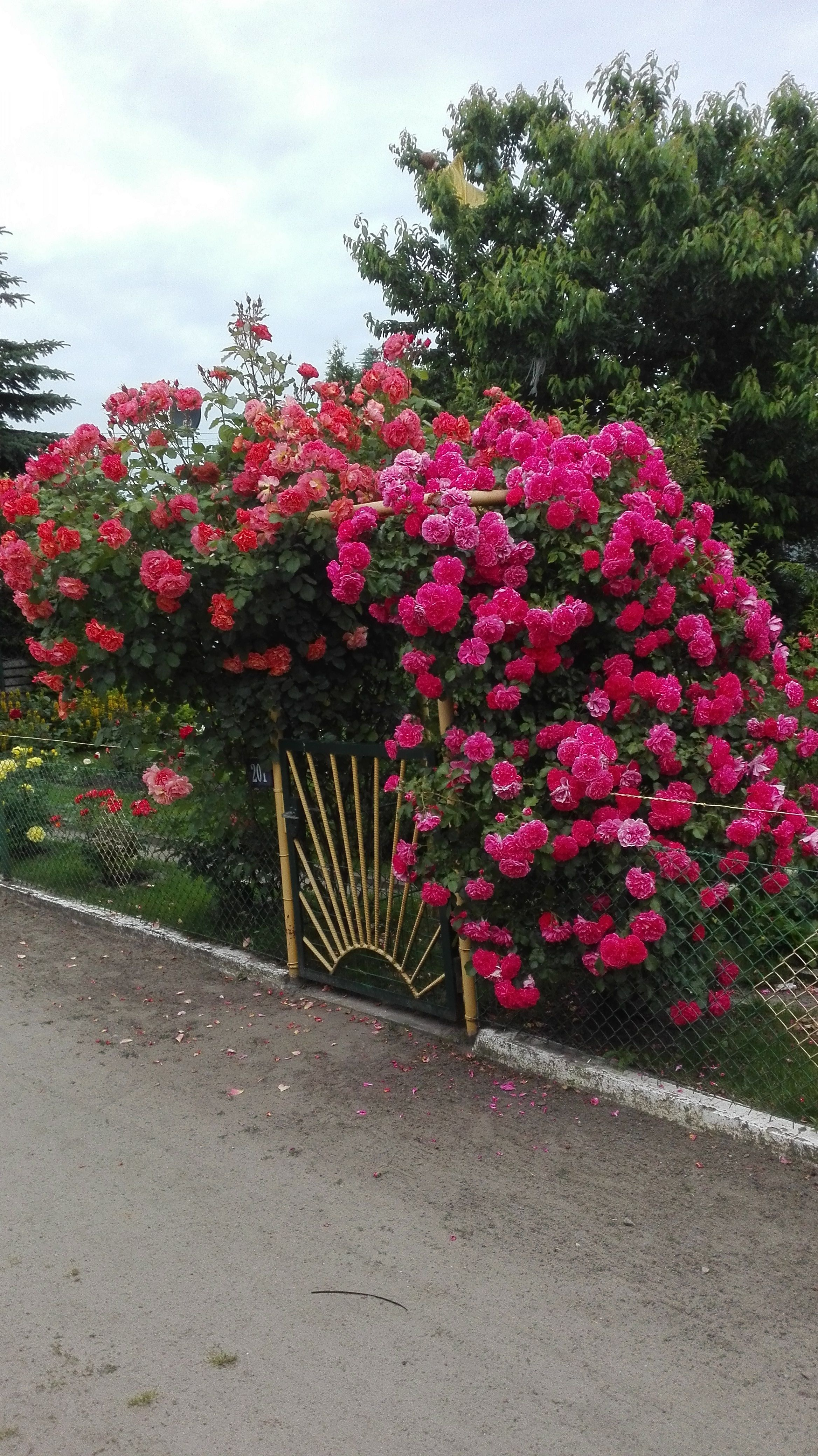 Kwitnace Bujne Roze Ogrodowe Plants Garden Rose Garden