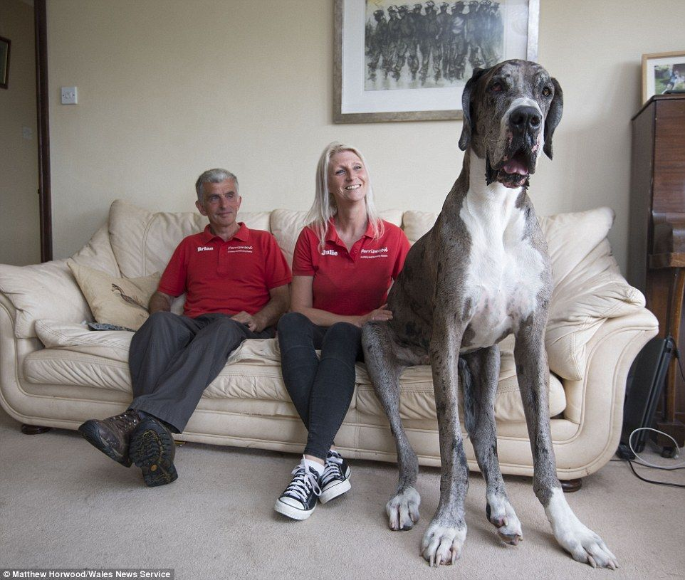 This 7 Foot Great Dane Looks Set To Be Crowned World S Tallest Dog