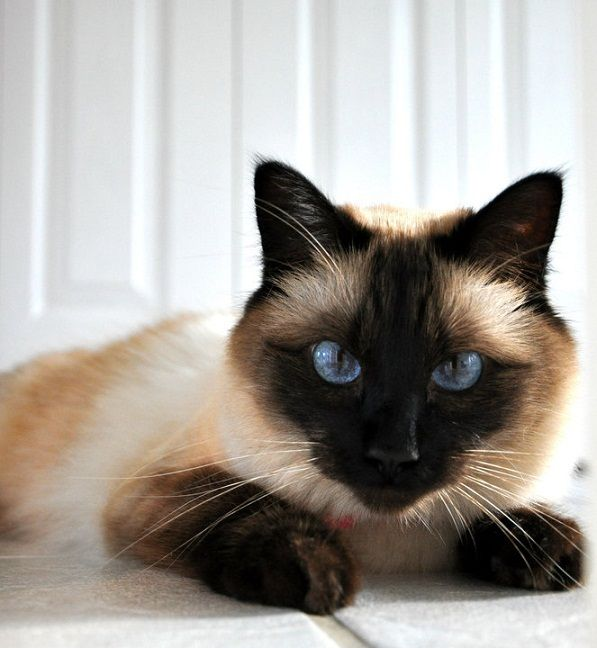 Balinese The Perfect Kitty Hypoallergenic Balinese Cat Siamese Cats Cats