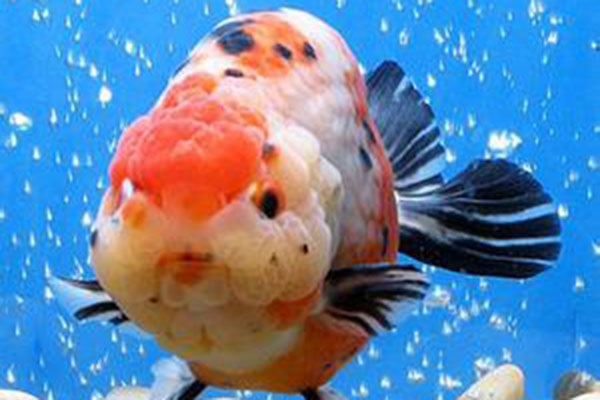 金魚 - Goldfish
