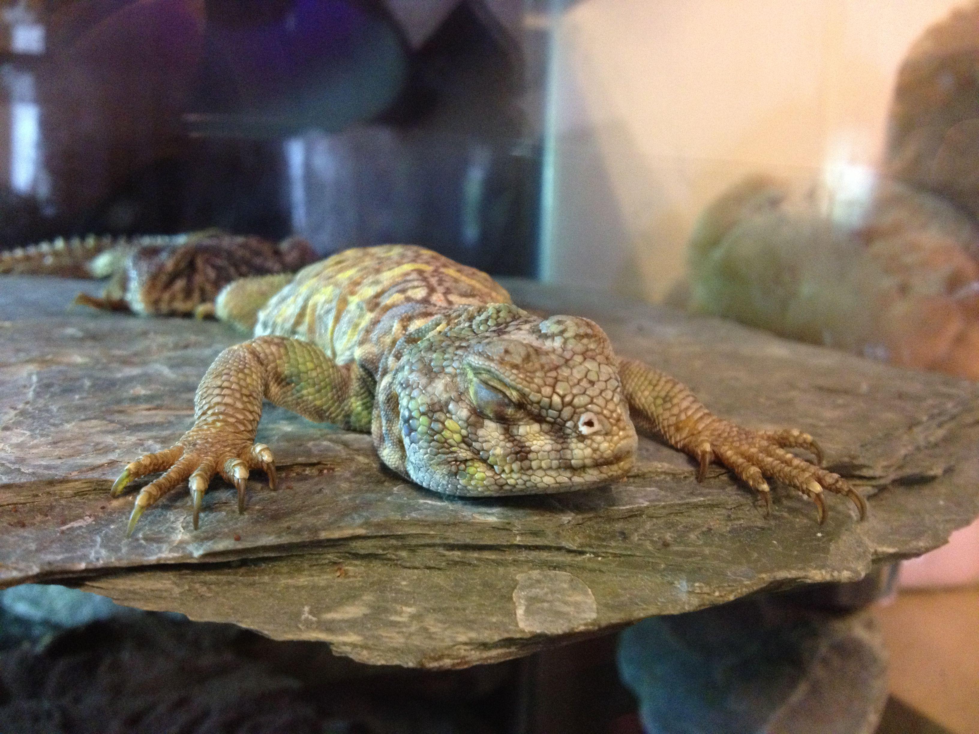 A Sleepy Lancelot Basking Under A Heat Lamp