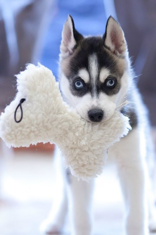 Husky Puppy With Toy Husky Puppy Cute Animals Cute Baby Animals