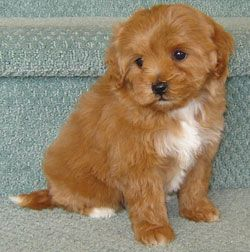 Moodle Maltese Toy Poodle Cross Adorable Puppies And