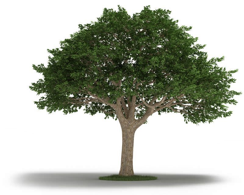 Tree Neem Tree 3d Model Plants Neem Tree
