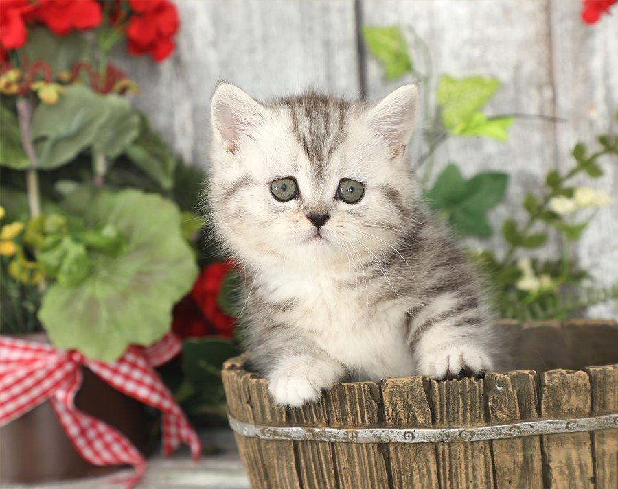 Lady Bug Shaded Silver Rug Hugger Kitten Persian