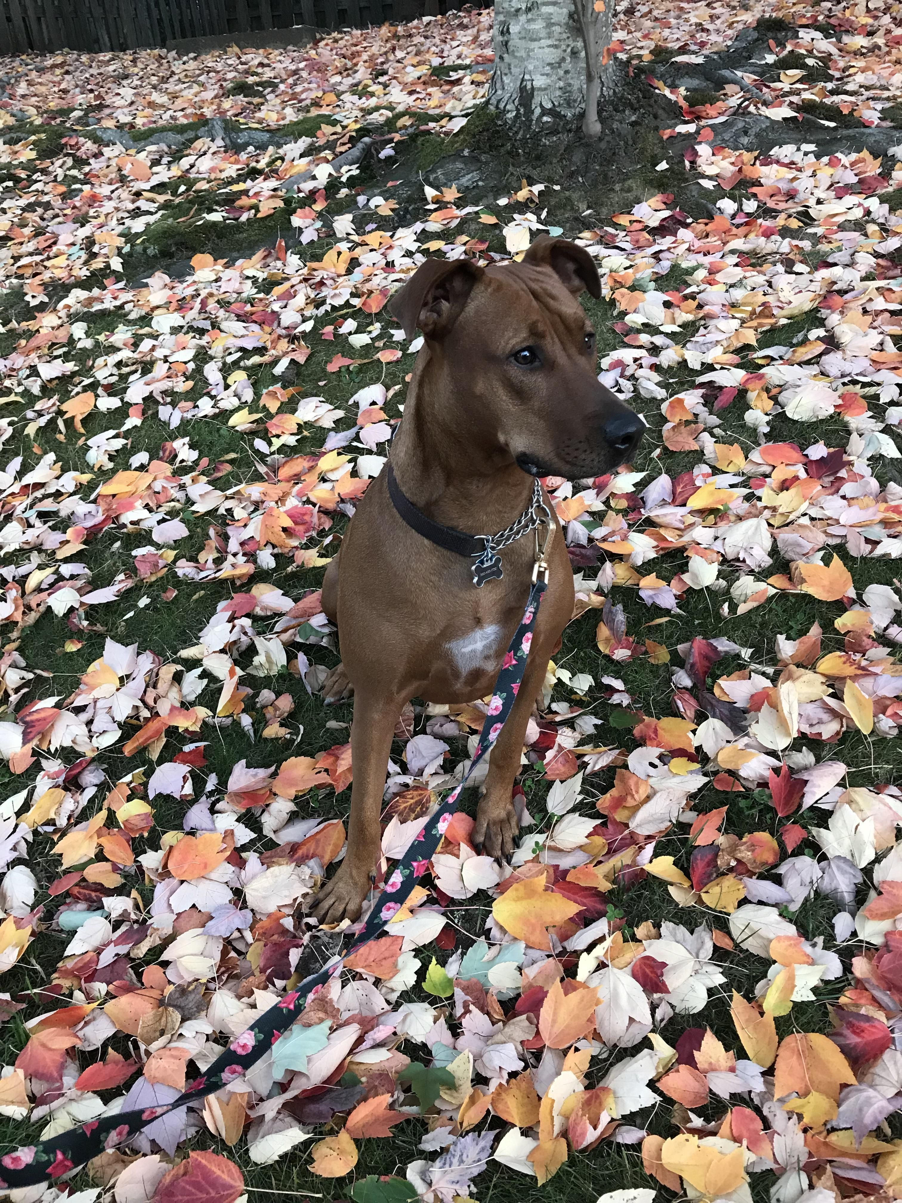 2 And A Half Year Old Pitty Rhodesian Ridgeback Mix Rescued From Puppy Auction In Colorado Now Living With Us In Oregon Rhodesian Ridgeback Puppies Cute Dogs