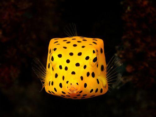 Yellow Box Fish Saltwater Fish Tanks Fish Ocean Creatures