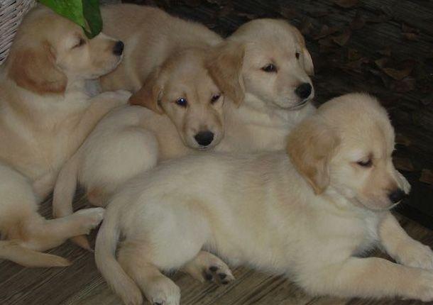 Paradise Golden Retrievers Labrador Puppies For Sale Labrador Puppy American Labrador