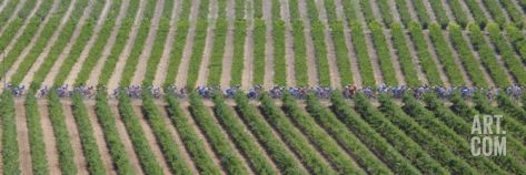 Peloton Rides Through Vineyards in Third Stage of Tour de France, July 6, 2009 Photographic Print at Art.com